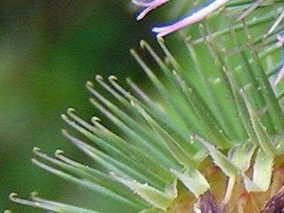 Les fruits de la bardane (Arctium Lappa) possèdent des aiguillons terminés par des crochets. Ceux-ci sont utilisés pour s'accrocher au pelage des animaux, on parle donc de zoochorie. © Pethan, Wikimedia Commons, CC by-sa 3.0