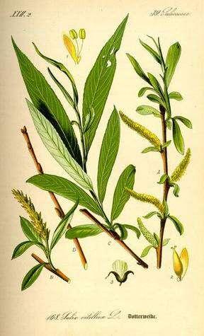 Salix alba (saule blanc) dont l'écorce contient l'acide salicylique, à partir duquel le chimiste allemand Felix Hoffmann a trouvé en 1897 le moyen d'obtenir l'acide acétylsalicylique à l'état pur avant d'en lancer la production à l'échelle industrielle. L