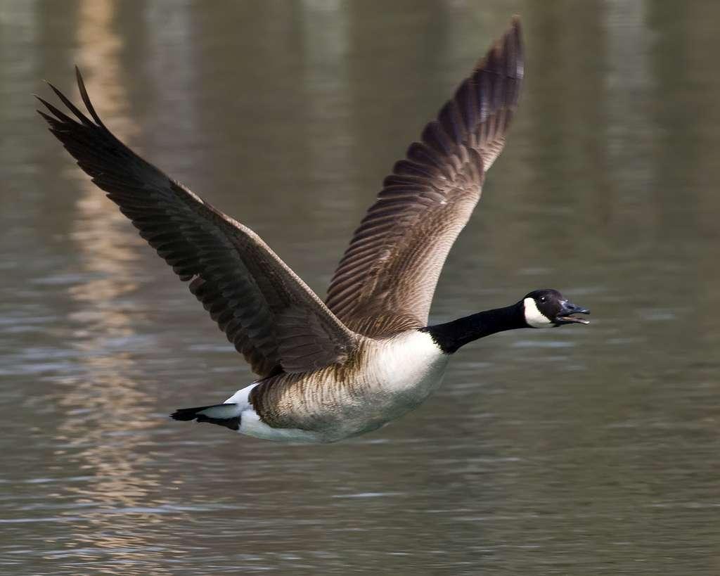 Bien qu'elle sache très bien voler, la bernache du Canada se voit plus fréquemment au sol que sur l'eau. © gr8dnes, Flickr, cc by nd 2.0