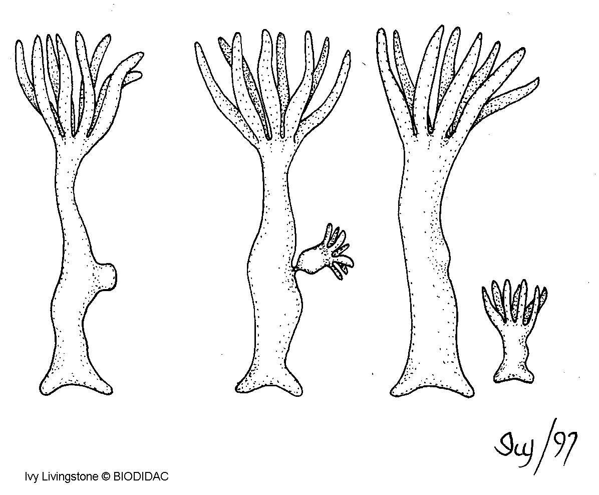 Cette hydre se reproduit par bourgeonnement. L'organisme fille est un clone de la mère. Ce phénomène n'a lieu que si la température de l'eau est adéquate et la nourriture abondante. © Biodidac.bio.uottawa.ca