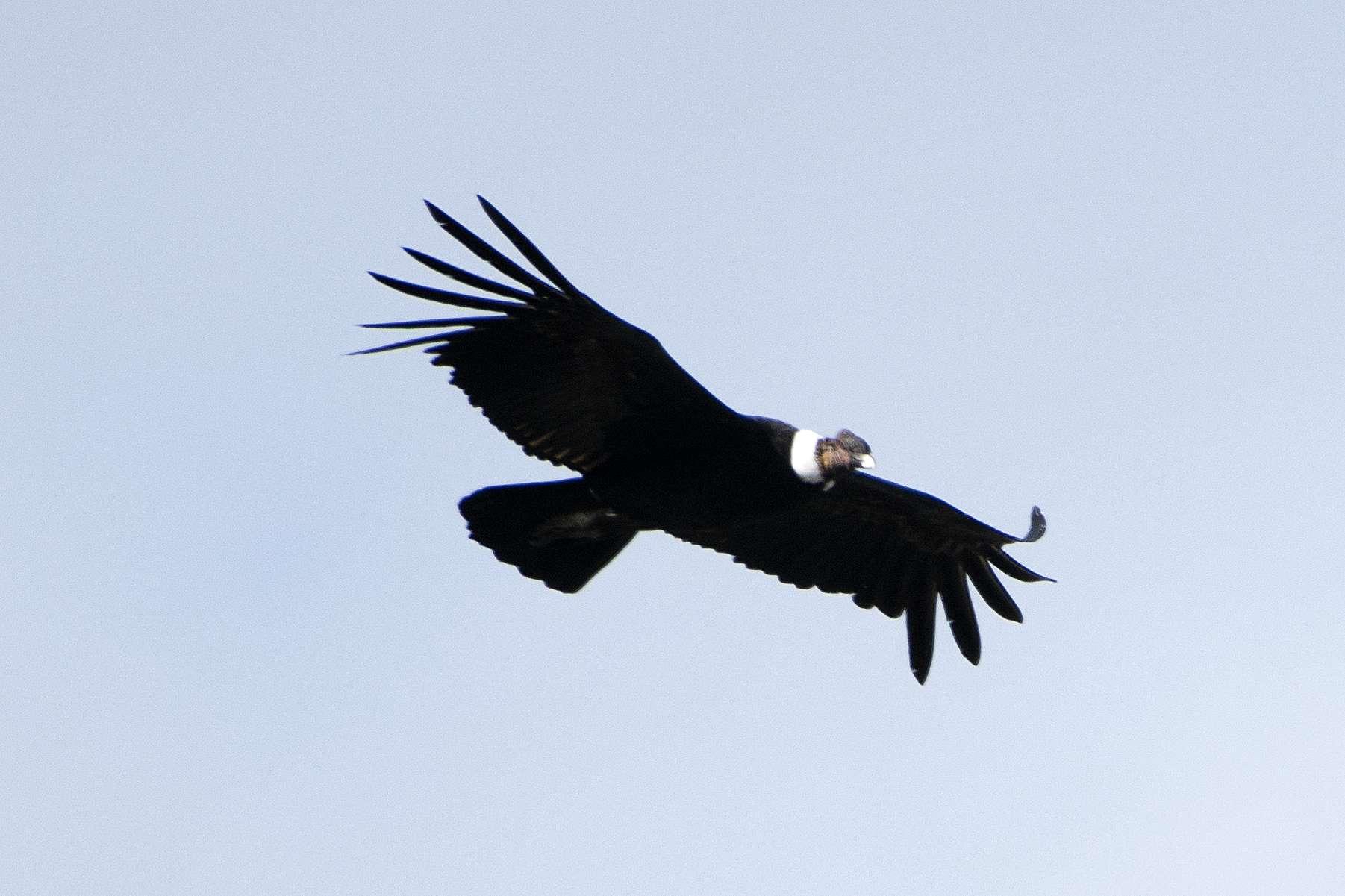 Le condor des Andes passe 99 % de son temps de vol en plané. © Paul Asman and Jill Lenoble, Flickr