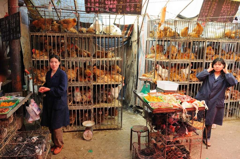 Comme leur nom l'indique, les virus aviaires se propagent parmi les oiseaux, et en particulier les volailles d'élevage. Ils peuvent parfois se transmettre à l'Homme, comme c'est le cas du H10N8 qui vient d'être identifié sur une patiente, décédée des suites d'une pneumonie. © Padmanaba01, Flickr, cc by sa 2.0