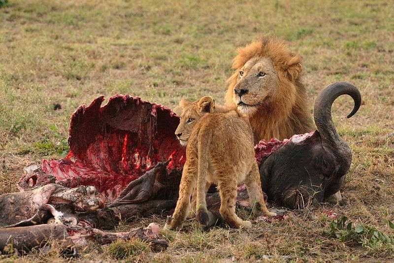 Les lions sont des prédateurs et se nourrissent de la viande des animaux qu'ils ont chassés. Ce sont donc des organismes hétérotrophes, comme tous les autres animaux, y compris l'Homme. © Luca Galuzzi, Wikipédia, CC by-sa 2.5