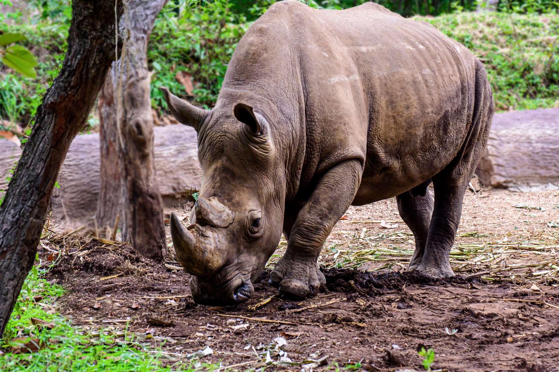 Après la mort d'Iman, il ne reste plus aucun rhinocéros de Sumatra en Malaisie. © Nuwatphoto, Adobe Stock