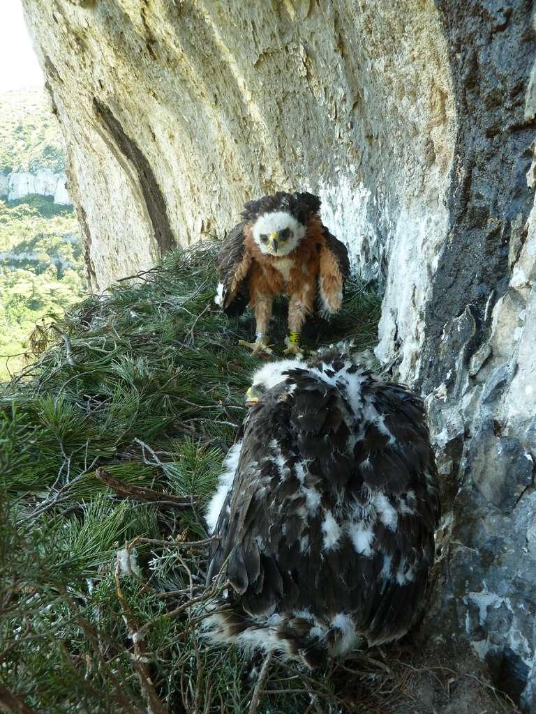 Espèce menacée à l'échelle mondiale, l'aigle de Bonelli est l'un des rapaces les plus rares en France. Son taux annuel de reproduction est faible avec un, voire deux aiglons par couple. © Philippe Lèbre, Cen Paca