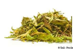 Les feuilles de deux espèces du genre Stevia ont un goût particulièrement sucré, ce que savaient les Indiens d'Amérique du sud. © Tjall/Fotolia