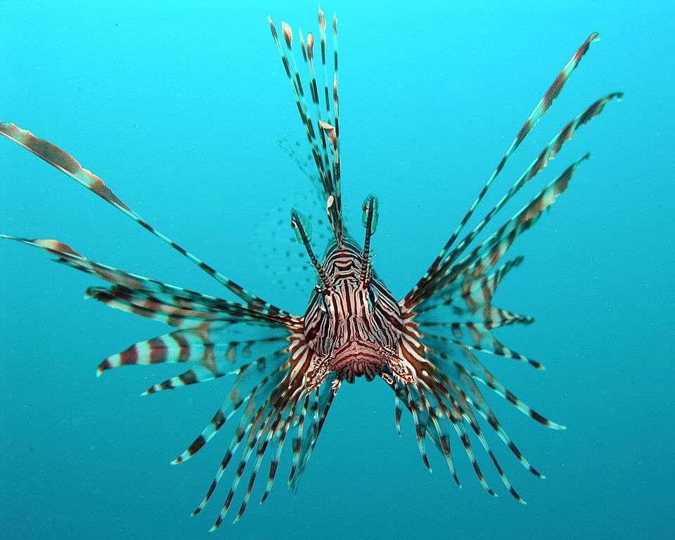 Pterois volitans est la rascasse volante qui envahit l'Atlantique en majorité. Les épines venimeuses de sa nageoire dorsale font d'elle une espèce peu chassée par les autres animaux marins. © Jens Petersen, GNU 1.2