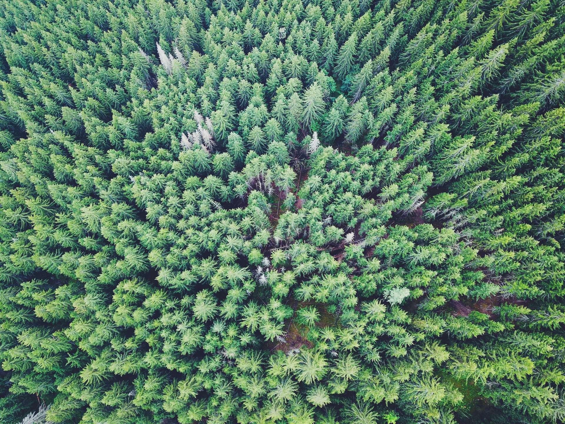 Les associations écologistes dénoncent la trop large part accordée aux épicéas dans le plan de reboisement irlandais. © Ties Rademacher, Unspash