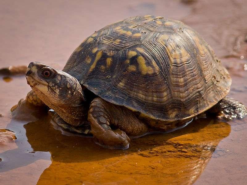 La tortue tabatière (une tortue des bois), est une espèce nordique que l'on trouve généralement sur les rives des cours d'eau, les prairies herbeuses et les forêts de plaine inondables. © Ken Thomas, DP