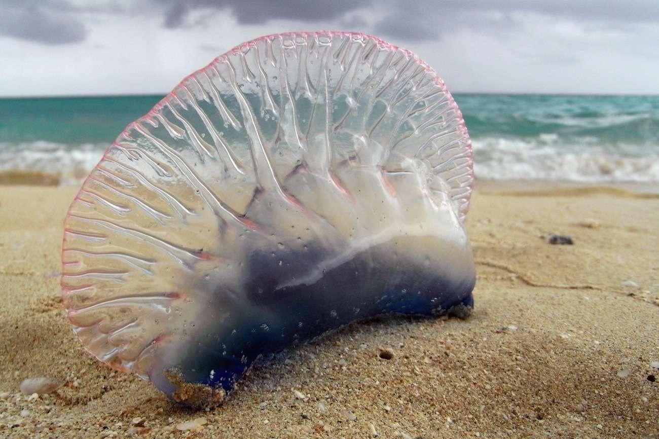 Son nom en grec signifie « bulle d'eau ». Et même si elle ressemble à une méduse (notamment à cause des fortes brûlures urticantes qu'elle inflige) c'est en réalité un siphonophore. © Francis Mariani, Flickr, CC BY-SA 3.0