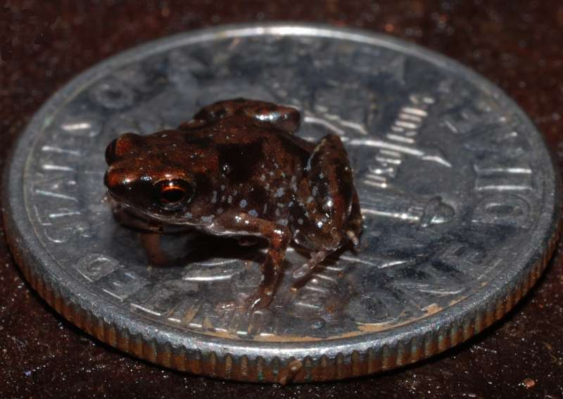 le genre Paedophryne contient six espèces mesurant toutes moins d'un centimètre. Ici, Paedophryne amauensis est placée sur un dime, une pièce au diamètre de 17,91 mm. © Rittmeyer et al. 2012, Plos One