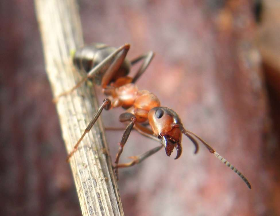 Formica rufa est une espèce protégée tant son rôle est important dans les forêts européennes. © Billy Lindblom, Flickr, cc by 2.0