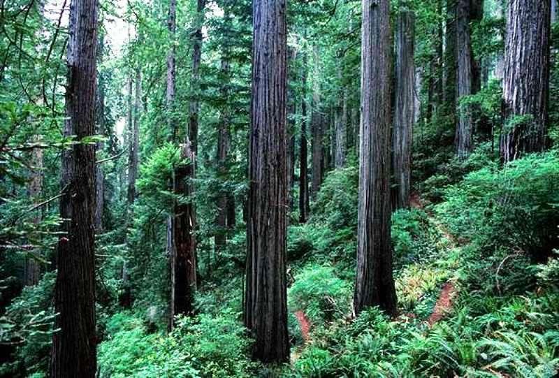 Les scènes se déroulant sur la lune forestière d'Endor dans Le retour du Jedi ont été tournées en extérieur dans le parc national de Redwood, en Californie. © DP, Wikipédia