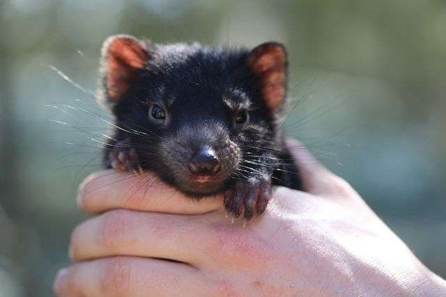 Des bébés diables de Tasmanie de retour en Australie après 3.000 ans d'absence. © Aussie Ark, Instagram