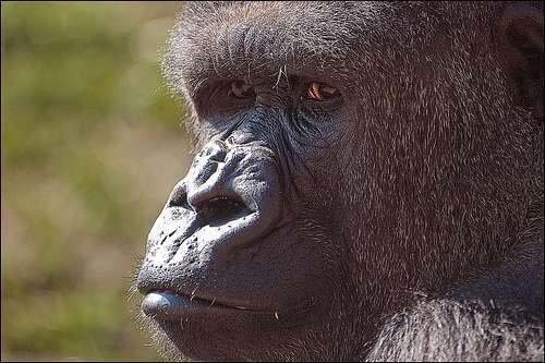 En 2008, 125.000 gorilles étaient découverts à la surprise générale dans le bassin du Congo. © Etrusia uk CC by-nc-sa