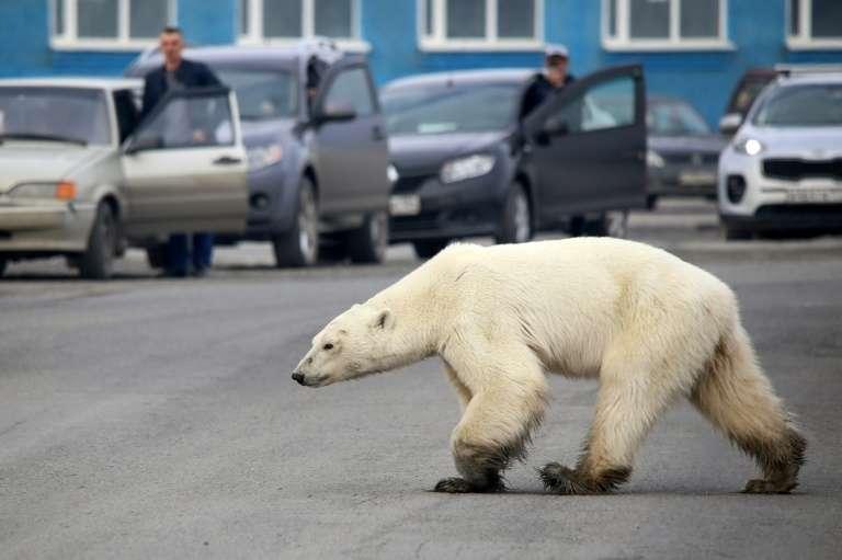Un ours polaire affamé errant à la périphérie de la ville industrielle de Norilsk, dans l'Arctique russe, le 17 juin 2019. © Irina Yarinskaya - Zapolyarnaya pravda newspaper/AFP