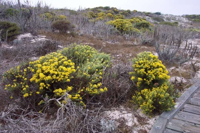 La phytosociologie identifie dans la végétation de cette dune plusieurs associations distinctes révélatrices du fonctionnement écologique du milieu. © Cpt Albert E. Theberge / NOAA, domaine public