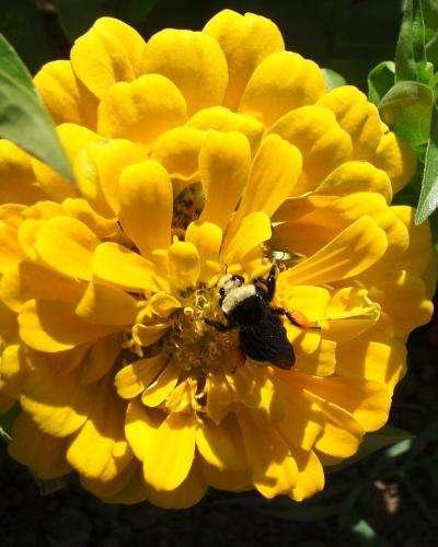 Le bourdon à face jaune Bombus vosnesenskii mesure 1 à 2 cm de long. Ses colonies se développent sous terre au printemps. Elles sont créées par les reines qui ont survécu à l'hiver. © Shalene Jha, université du Texas à Austin
