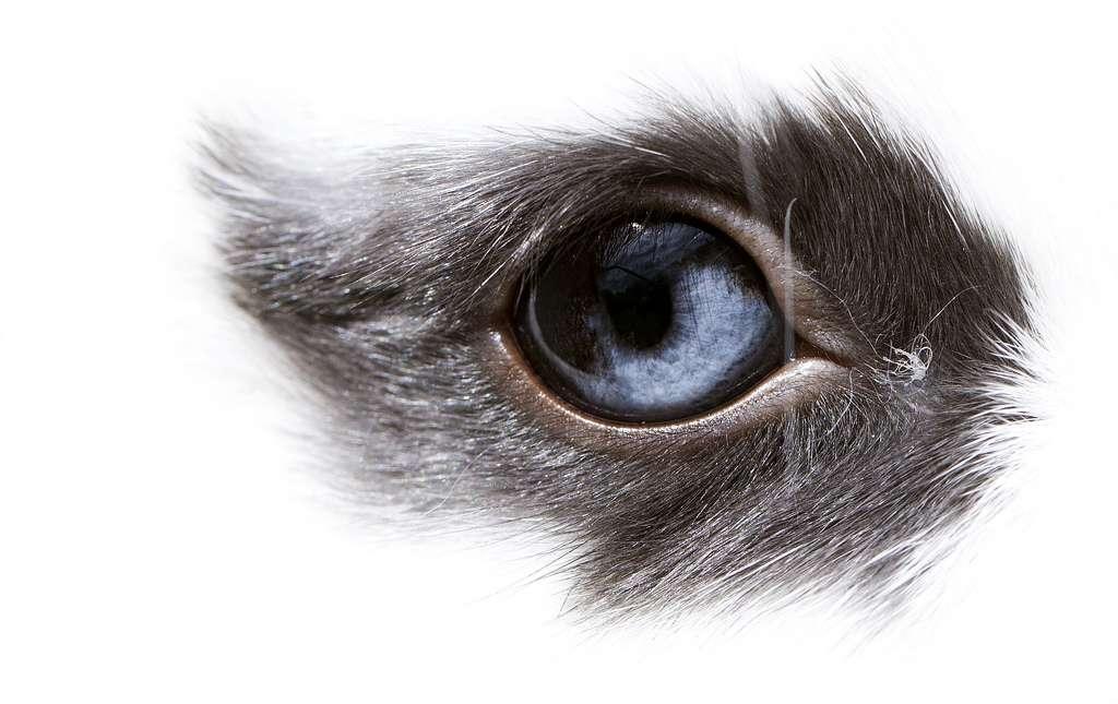Le lapin est souvent utilisé comme modèle pour étudier des maladies humaines. Dans cette étude, les chercheurs ont utilisé cet animal pour tester la thérapie cellulaire afin de soigner la dégénérescence maculaire liée à l'âge (DMLA), une maladie de l'œil fréquente qui survient vers 65 ans. À quand les essais cliniques chez l'Homme ? © Stian Olsen, Flickr, cc by nc 2.0