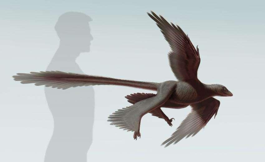 Une reconstitution d'artiste de Changyuraptor yangi, qui vient d'être découvert en Chine. L'animal possédait les plus longues plumes connues à ce jour sur la queue d'un dinosaure. © S. Abramowicz, Dinosaur Institute, NHM