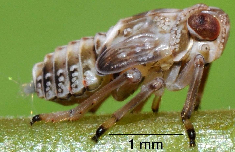 Les nymphes de la cigale bossue (Issus coleoptratus) possèdent un plumeau bien visible à l'arrière de leur corps. Les insectes étudiés par Malcolm Burrows mesuraient en moyenne 4,1 mm de long. Leurs pattes arrière étaient 35 % plus longues que les autres. © Malcolm Burrows