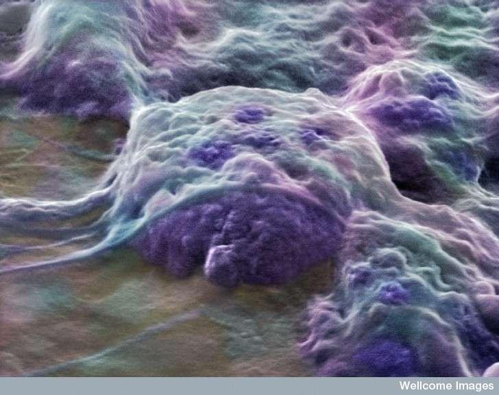 On peut déjà imprimer en 3D des cellules souches embryonnaires. Mais pour le moment, recréer un organe entier et fonctionnel est impossible... © Annie Cavanagh, Wellcome Images, cc by nc nd 2.0