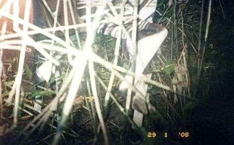 Deux jambes arrière furtivement photographiées par une caméra automatique. Zébrées en noir et blanc, elles trahissent sans doute possible son propriétaire : un okapi, ce curieux cousin de la girafe. Crédit : WWF (reproduction libre)