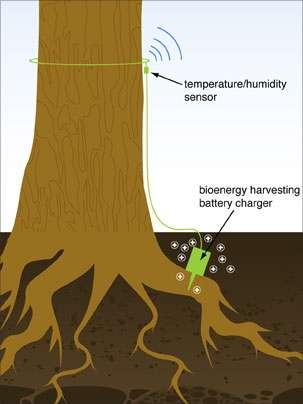 Planté sur une racine, relié à un émetteur radio, ce petit appareil tire son énergie de l'arbre et peut envoyer une alerte quand il détecte une forte chaleur. © Rebecca Macri/MIT