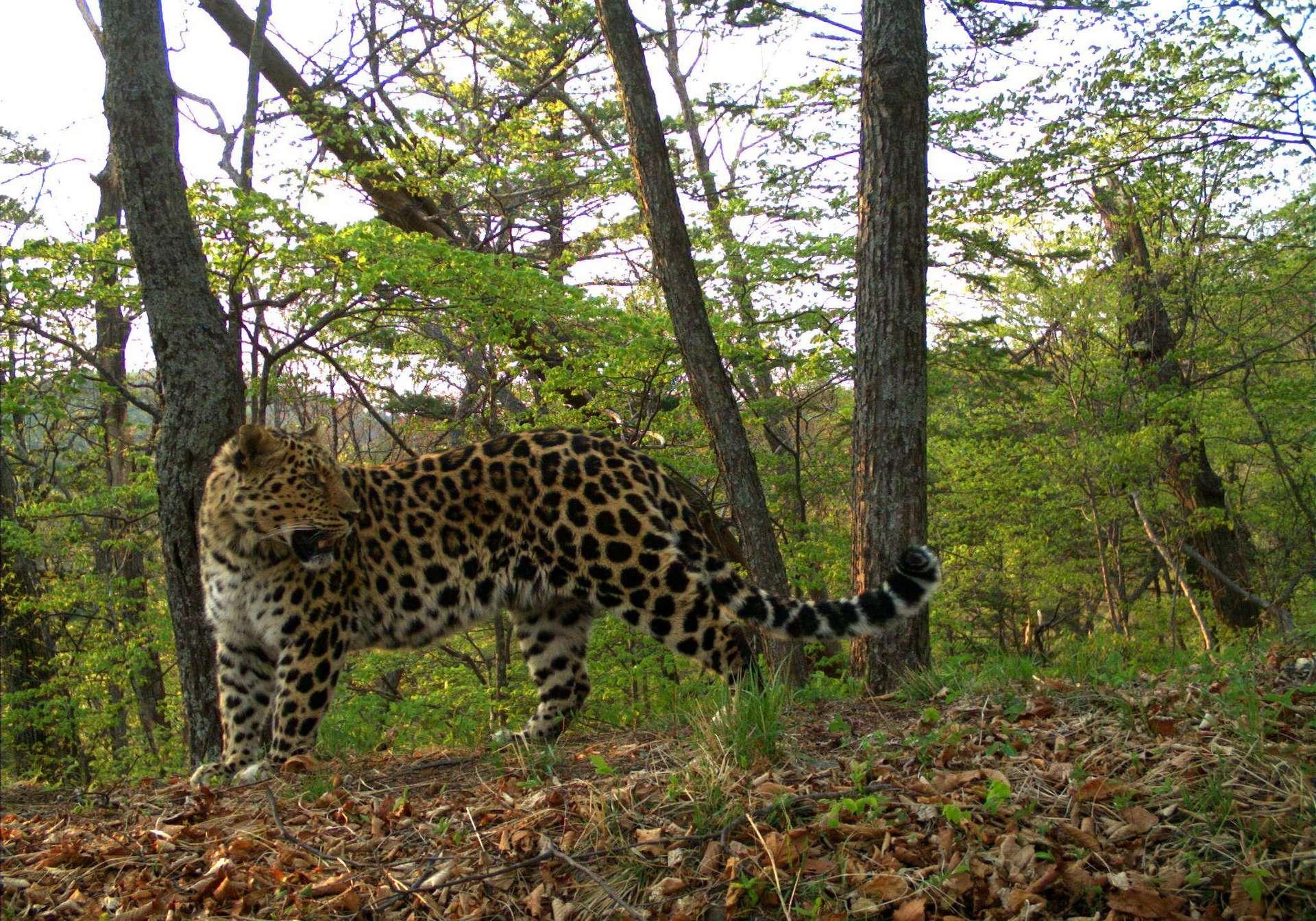 Le léopard de l'Amour est l'un des félins les plus rares au monde. © Land of the Leopard Nature Reserve, Facebook