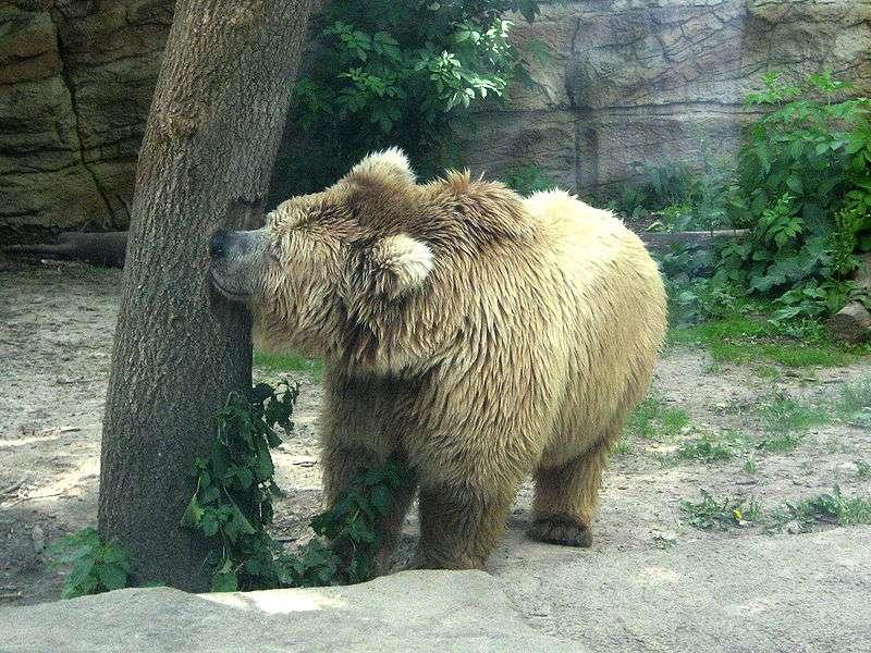 Photo d'un ours isabelle. © DoroshenkoE, domaine public