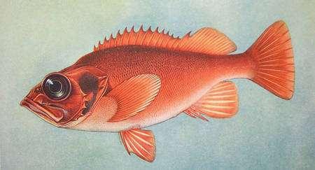 La dorade sébaste du nord (Sebastes marinus), une espèce d'eaux profondes, vulnérable mais pêchée. © Domaine public