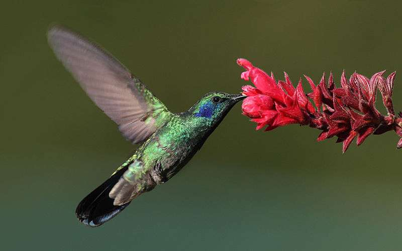 Le colibri, capable de réaliser un vol stationnaire, peut ainsi prélever le nectar des fleurs et contribuer à la pollinisation, un service écologique offert par la nature mais mis à mal par l'Homme. © Mdf, Wikimedia common, CC by-sa 3.0
