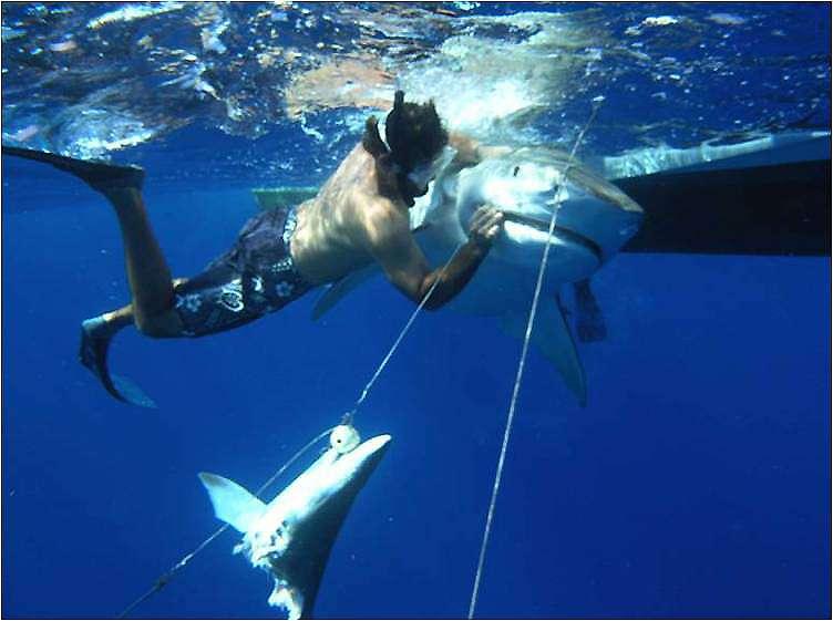 Les requins tigres, dont le corps est brun-gris et strié par des zébrures verticales, peuvent atteindre 4 m de long et peser jusqu'à 500 kg. Ils seraient responsables d'environ 20 % des attaques fatales. Cette photographie a été prise au large de Bimini dans les Bahamas. Le plongeur essaie de libérer la proie ! Les drum-lines sont couramment utilisées pour capturer cette espèce. © NWFblogs, Flickr, CC by-nc-nd 2.0