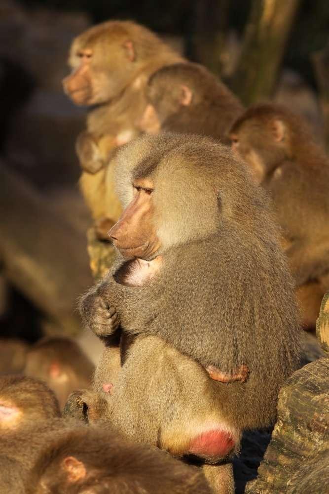Les babouins appartiennent à l'ordre des primates, au même titre que les gorilles et les nasiques. À l'image, un babouin mâle tient dans ses bras un petit (au premier plan). © Henk UBentlage/shutterstock.com
