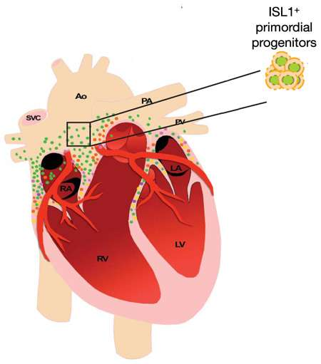 Les cellules souches cardiaques (ISL1+ sur le schéma), où est présente la protéine Islet 1, se trouvent au-dessus des oreillettes (RA et LA) et sur toute la largeur du cœur, sous les vaisseaux sanguins supérieurs, l'aorte (AO), la veine cave supérieure (SVC), l'artère et la veine pulmonaires (PA et PV). Elles s'insinuent entre les oreillettes et un peu entre les ventricules (RV et LV). © Lei Bu et al., Nature 460, 113 (2009)