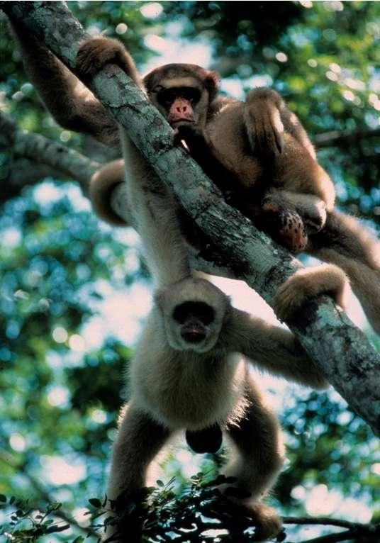 Il resterait moins de 1.000 singes-araignées laineux. Ces animaux sont victimes de la déforestation au Brésil. © Andew Young