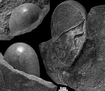 Ces quelques œufs fossilisés ont été trouvés dans les dépôts de Montsec, dans la région du Lleida. Ils seraient âgés de 70 à 83 millions d'années et correspondraient aux premiers œufs de dinosaure ovoïdes trouvés à ce jour. © Universitat Autònoma de Barcelona