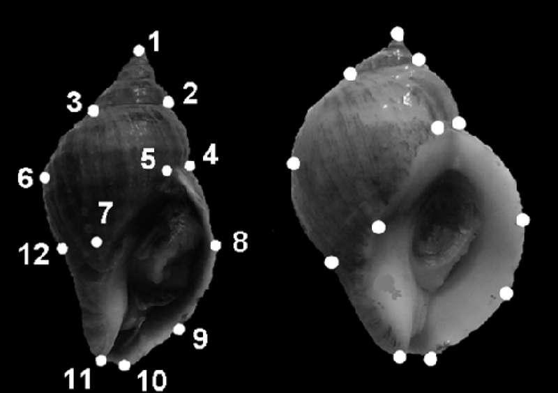 Position des 12 points de repère utilisés pour réaliser une analyse morphométrique de deux coquilles de Nucella lapillus. Celle de gauche vient d'un animal qui vit sur un site protégé de l'action des vagues, à l'inverse de la coquille de droite. © Pascoal et al., 2012, Plos One, cc by 2.5
