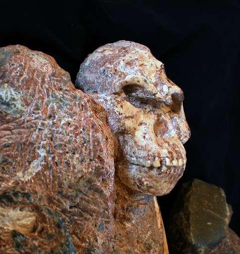 Visage de Little Foot tout juste dégagé de sa gangue rocheuse. Jusqu'alors non publiée, cette vue du crâne complet est diffusée pour la première fois à l'occasion de la parution de l'article de Laurent Bruxelles dans le Journal of Human Evolution. © Ronald Clarke