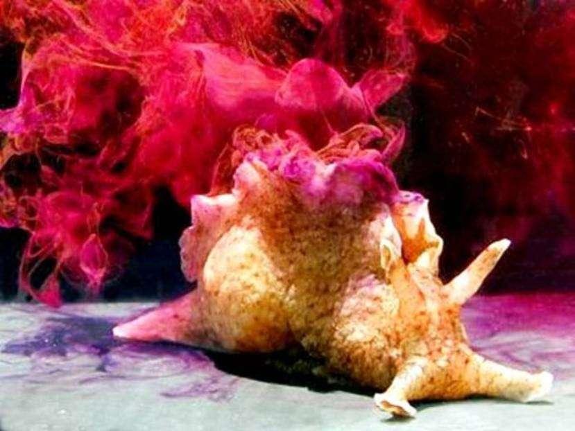 Lièvre de mer © Genny Anderson