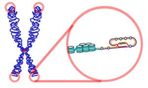 Les télomères constituent l'extrémité des chromosomes. Seule la télomérase est en mesure de les mettre en place lors de la réplication de l'ADN, les enzymes traditionnelles n'étant pas équipées pour. © Samulili, Wikipédia, cc by sa 3.0
