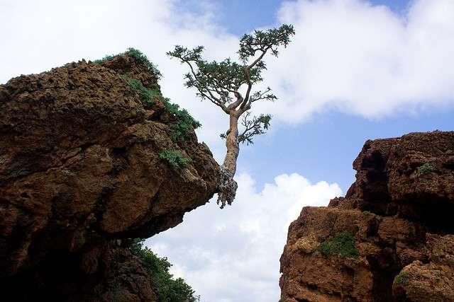 Les arbres à encens font partie du genre Boswellia qui regroupe une quinzaine d'espèces. © Alexbip, Flickr, cc by nc sa 2.0