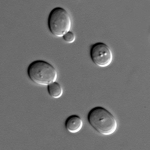 La levure Saccharomyces cerevisiae est l'organisme modèle qui permet d'étudier les eucaryotes dans leur ensemble. © Masur, Wikimedia, domaine public