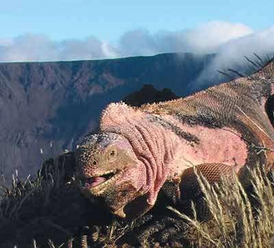 Rosada sur le volcan Wolf. Crédit : Gabriele Gentile/PNAS