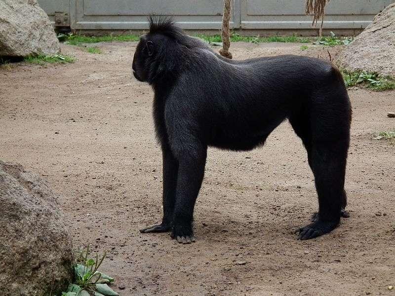 Photo d'un macaque à crête. © 4028mdk09, CC by-SA 3.0