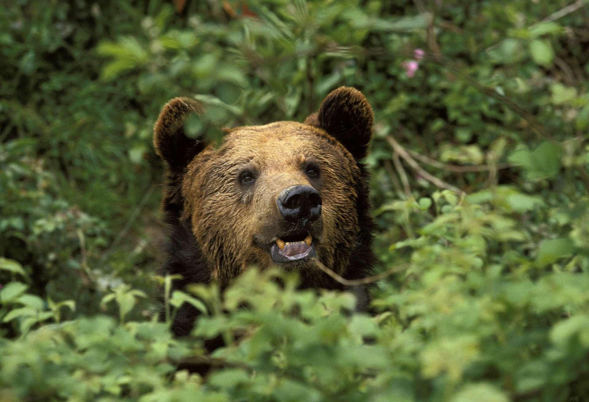 L'ours brun, qui peut vivre jusqu'à 30 voire 40 ans, se plaît particulièrement dans les forêts boréales ou les massifs montagneux. © Slowmotiongli, Adobe Stock