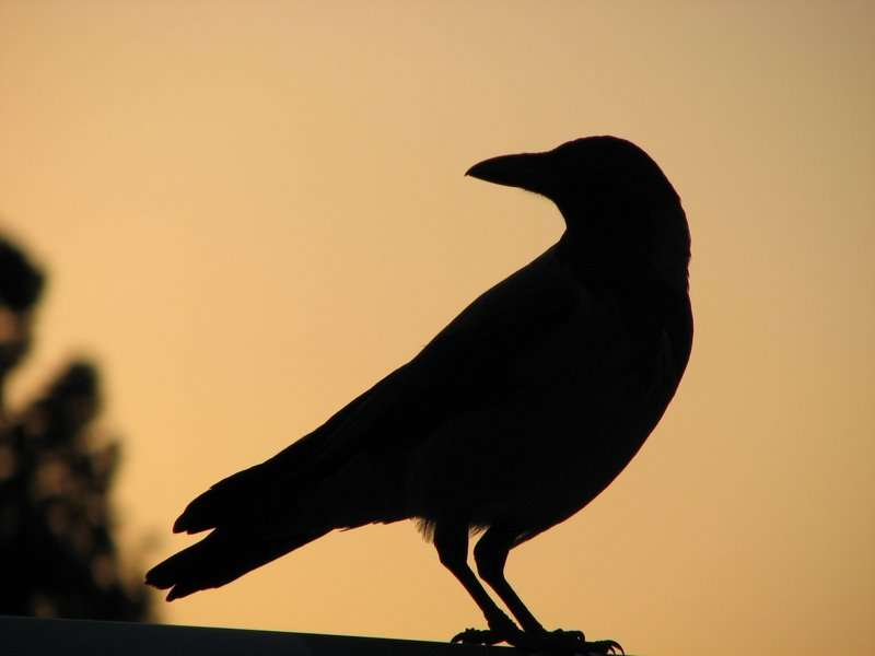 Les corneilles, que l'on confond souvent avec les corbeaux, sont des oiseaux très communs, dotés d'une intelligence remarquable. Une nouvelle preuve vient d'en être apportée. © Naama, Flickr, cc by sa 2.0
