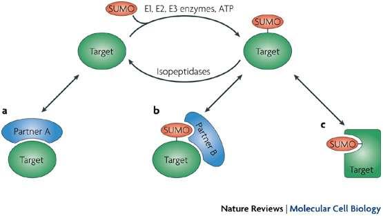 La sumoylation entraîne une modification de la protéine cible. a) la protéine non sumoylée peut interagir avec le partenaire A, b) la protéine sumoylée peut interagir avec un nouveau partenaire B, mais plus avec A, c) la protéine change de conformation et n'interagit plus. © Nature reviews / Molecular Cell Biology