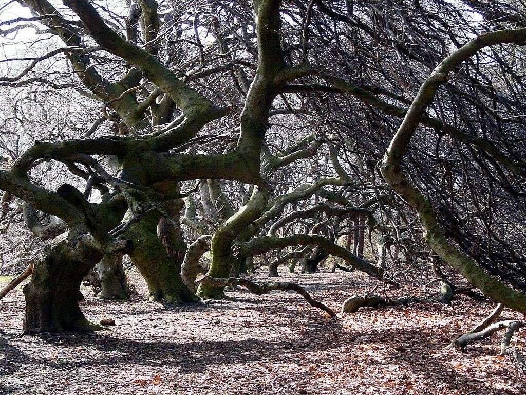 Dans le nord-ouest de l'Allemagne, en Basse-Saxe, il existe une hêtraie de tortillards. © Tortuosa, Wikipédia, GNU 1.2