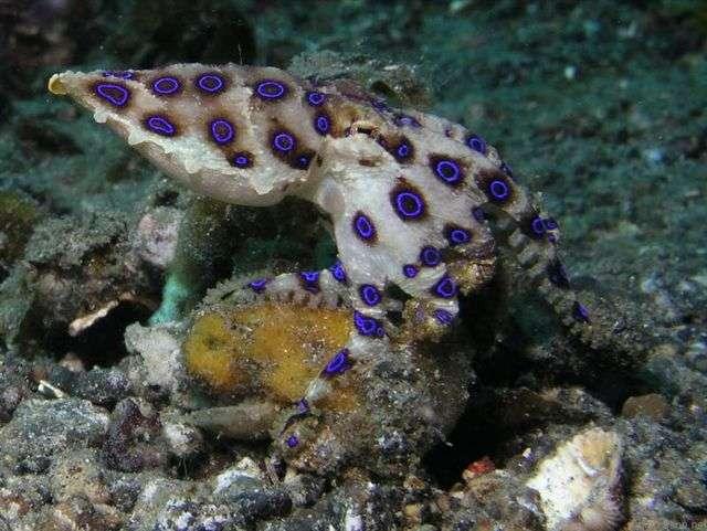 Les organismes des grands fonds risquent d'être affectés par le changement climatique. Si le nombre d'espèces diminue en surface, il y a moins de résidus qui chutent vers les fonds marins, où certaines espèces risquent de manquer de nourriture. À l'image, une pieuvre à anneaux bleus (Hapalochlaena), vivant dans les profondeurs de l'océan Indopacifique. © Tom Weilenmann, Flickr, cc by nc nd 2.0